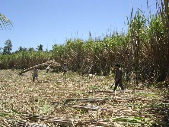 Nông dân ĐBSCL ào ạt phá bỏ ruộng mía ảnh 2