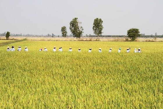 ĐBSCL: Chuyển giao 2 giống lúa mới chịu được độ mặn cao  ảnh 2