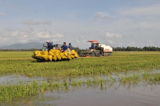 ĐBSCL khẩn cấp gặt lúa chạy lũ ở vùng biên giới  ảnh 12