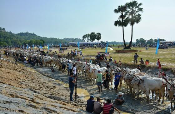 Hàng chục ngàn người xem đua bò Bảy Núi An Giang 2019 ảnh 1