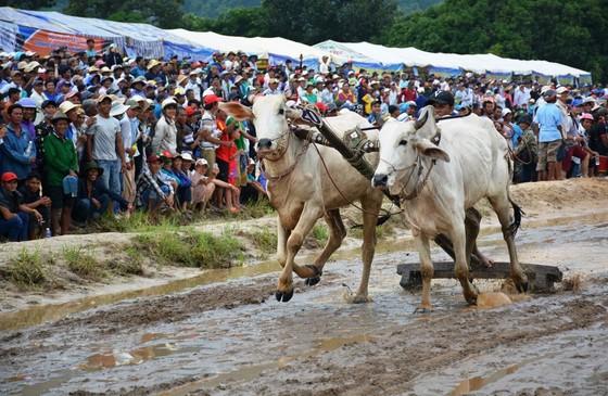Hàng chục ngàn người xem đua bò Bảy Núi An Giang 2019 ảnh 2