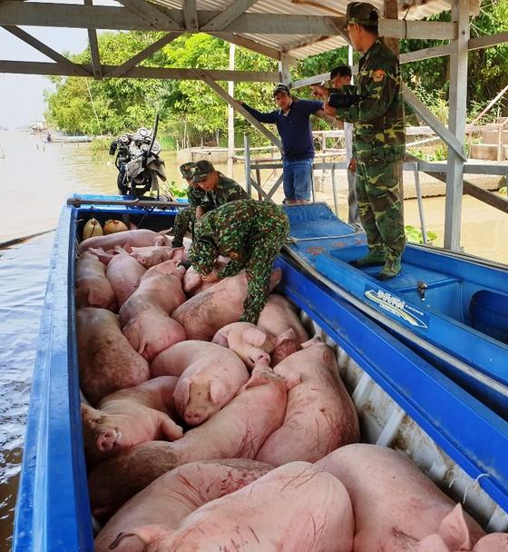 Bắt 1,8 tấn heo từ Campuchia vào An Giang không rõ nguồn gốc ảnh 1