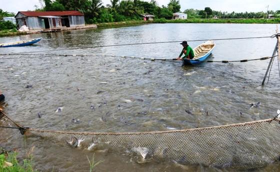 Chi hàng trăm tỷ đồng bù lỗ chênh lệch giá cá cho người nuôi ở ĐBSCL ảnh 2
