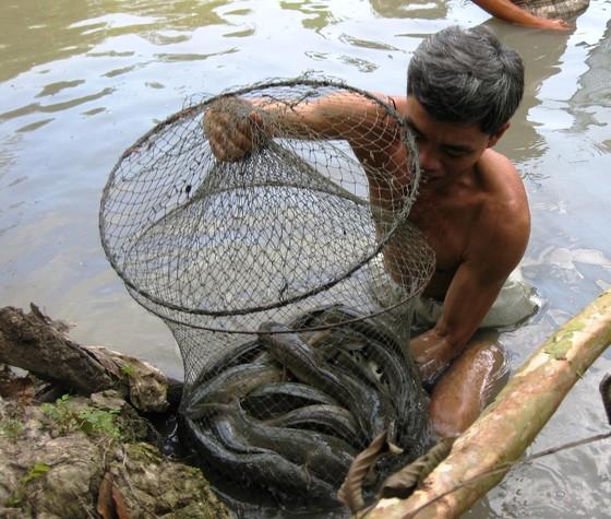Cá lóc nuôi ở Trà Vinh bị thiệt hại tràn lan do nước mặn tấn công  ảnh 1