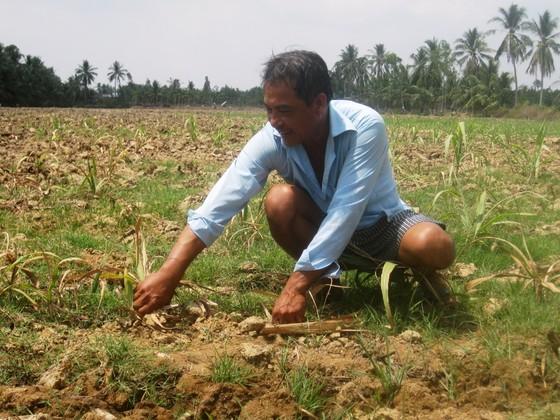 Nông dân ĐBSCL phá bỏ hàng ngàn héc-ta ruộng mía  ảnh 2