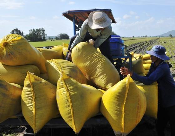 Sản lượng lúa hè thu ở Nam bộ tăng cao, đạt hơn 9,1 triệu tấn  ảnh 2