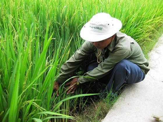 Nhiều loại sâu bệnh gây hại cho lúa hè thu ở ĐBSCL ảnh 3