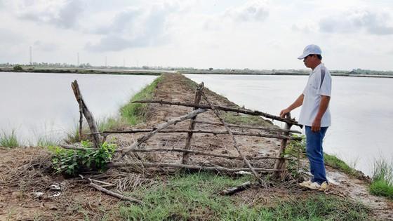 Nuôi tôm tự phát gây thiệt hại đất lúa ở Kiên Giang  ảnh 2