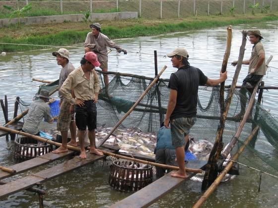 Nhiều hộ thua lỗ cá tra đã chuyển sang nuôi cá trê, cá lóc ảnh 1