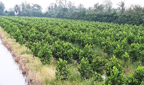 Mít Thái ở ĐBSCL tăng lên 50.000 - 60.000 đồng/kg  ảnh 2