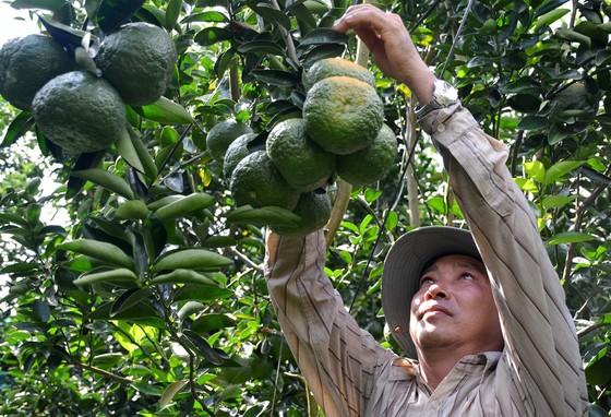 Hơn 11.180ha cây ăn trái ở ĐBSCL mất trắng do hạn mặn ảnh 1