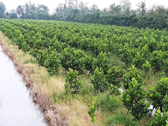 Nông dân thua lỗ vì nhiều loại trái cây rớt giá ảnh 4