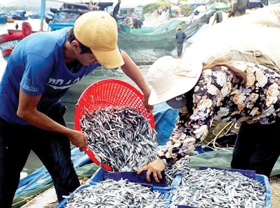 Tận diệt cá cơm ảnh hưởng sản lượng nước mắm ảnh 1