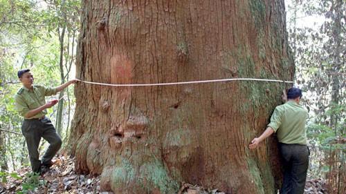 56 cây samu dầu Nghệ An là cây di sản Việt Nam ảnh 1