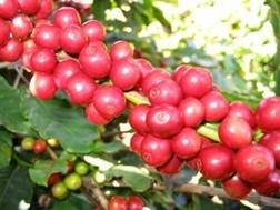 Đề xuất vay vốn tạm trữ cà phê ảnh 1