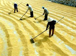 Xuất khẩu gạo: Cải cách để khẳng định vị thế ảnh 1
