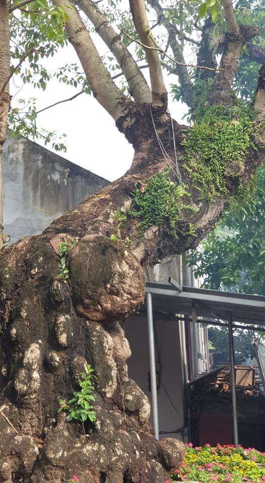 Cây thị 900 tuổi gắn liền với chiến tích Bạch Đằng Giang được công nhận là cây Di sản ảnh 4