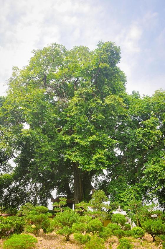 Cây thị 900 tuổi gắn liền với chiến tích Bạch Đằng Giang được công nhận là cây Di sản ảnh 3