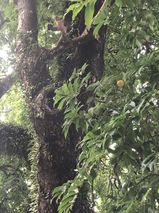 Cây thị 900 tuổi gắn liền với chiến tích Bạch Đằng Giang được công nhận là cây Di sản ảnh 2