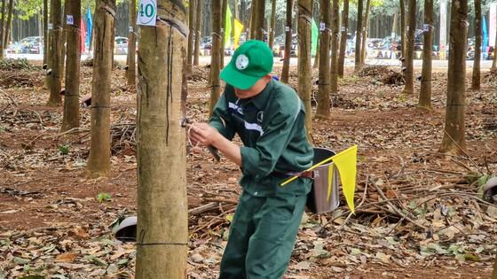 205 thí sinh dự Hội thi Bàn tay vàng thu hoạch mủ cao su ảnh 3