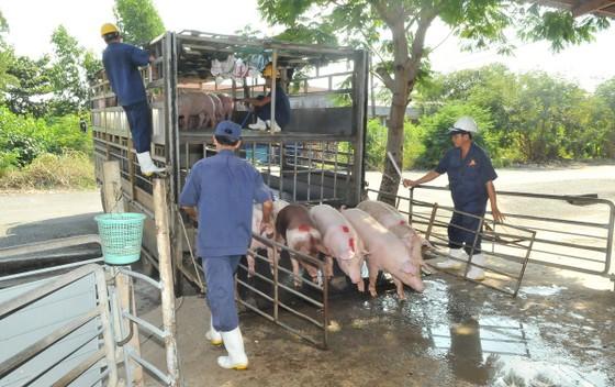 'Thủ phủ' chăn nuôi heo: Không mạo hiểm tái đàn ảnh 1