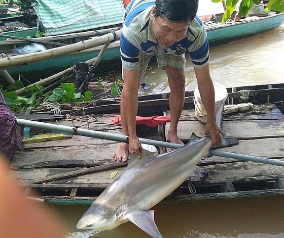 Người dân Lai Vung bắt dính cá lạ nghi cá mập ảnh 1