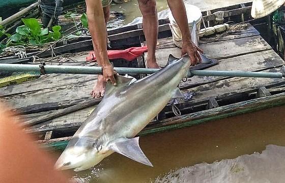 Người dân Lai Vung bắt dính cá lạ nghi cá mập ảnh 2