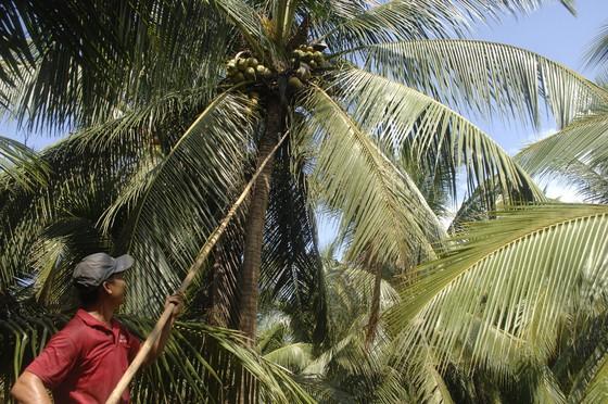 Lễ hội dừa Bến Tre tập trung hướng về cộng đồng ảnh 1