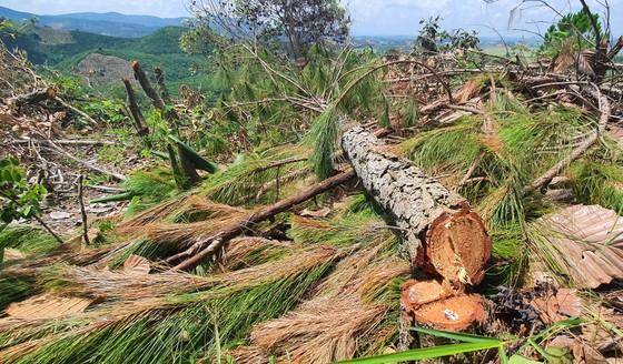 Rừng thông tại Lâm Đồng lại bị cưa hạ hàng loạt ảnh 1