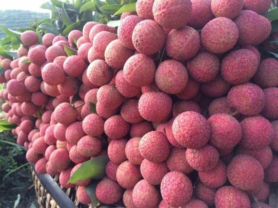 Khoảng 100 tấn quả vải Việt Nam sẽ đến nhiều bang của Úc