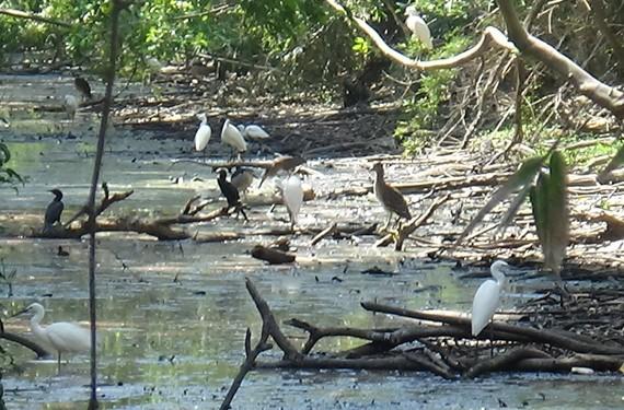 Vườn chim 10.000 con gây ô nhiễm cho TP Cà Mau