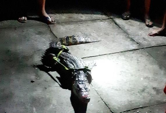 Con cá sấu bắt được nhà ông Tém. Ảnh: Thanh Minh