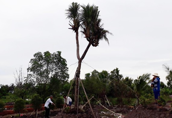 Cây dừa có 14 đọt