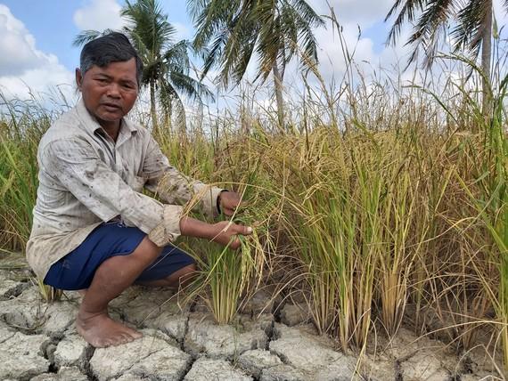 Lúa của người dân trên địa bàn xã Khánh Bình Tây Bắc (huyện Trần Văn Thời) bị thiệt hại do hạn hán