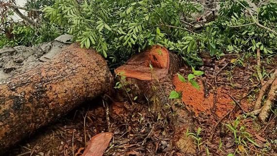 Hiện trường cây xà cừ bị đốn hạ