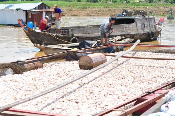 Đã có hơn 1.500 tấn cá bè trên sông La Ngà bị chết
