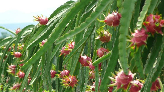 Price of dragon fruit drops drastically