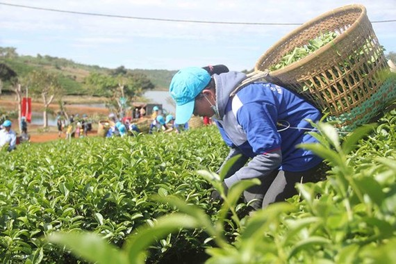 Tea-picking competition attracts skilled farmers