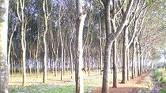 Hike in prices of rubber wood