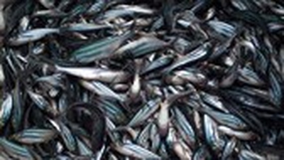 $ 6.2 million invested in high quality tra fish breed