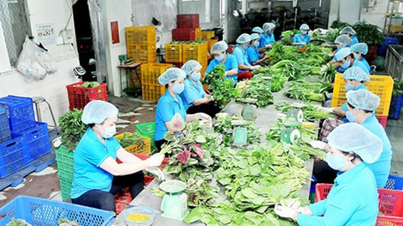 Processing vegetables in Phuoc An Cooperative. Photo by Cao Thang