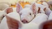 Vietnam announces African swine fever outbreaks