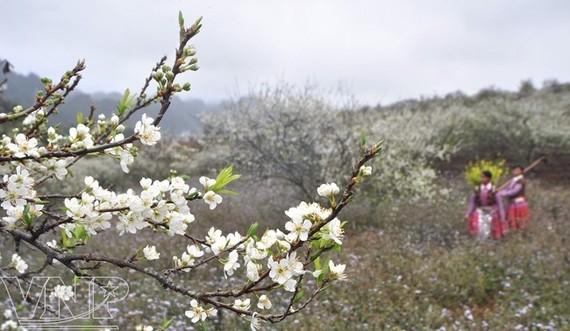 Ban flowers in Son La (Source: Internet)