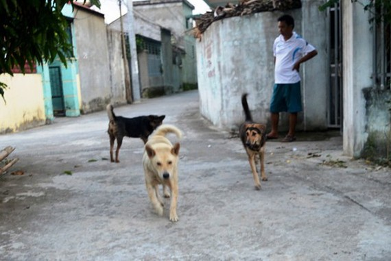 Free-roaming dogs and rabies transmission are integrally linked (Photo: SGGP)