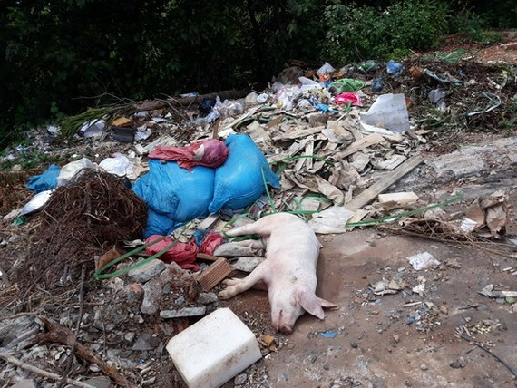 People throw away dead pig carcasses in street (Photo: SGGP)