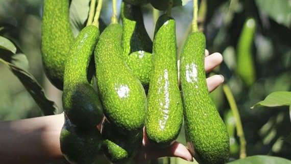 Vietnam is in the process of getting an export licence for avocados to the US. (Source:tapchicongthuong.vn)