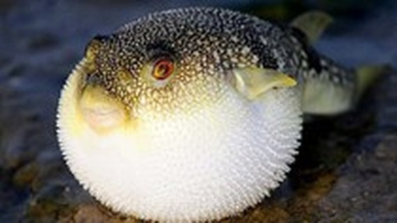 One dies after eating pufferfish