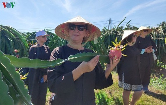 Tourists visiting the south central province of Binh Thuan will be able to enjoy a new experience following the recent launch of tours to dragon fruit gardens. (Source: VOV)