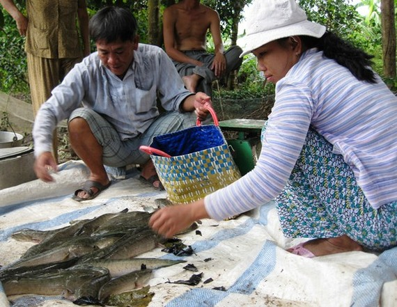 Fish farmers in Tra Vinh suffer loss due to saltwater intrusion