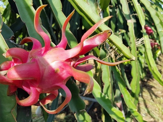 An event to promote and consume Vietnamese red dragon fruit has been taking place in Australia. — VNA/VNS Photo